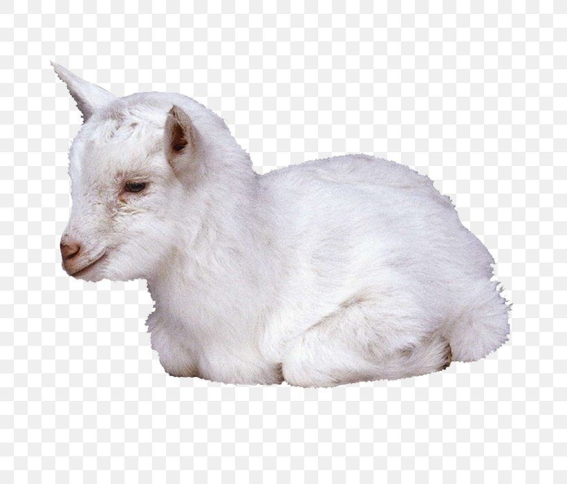 Goat Sheep Clip Art, PNG, 700x700px, Goat, Bovid, Cat, Cow Goat Family, Fur Download Free