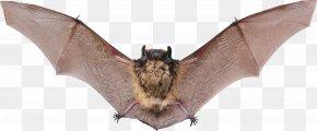 Bat - Vampire Bat Raccoon Animal Echolocation PNG