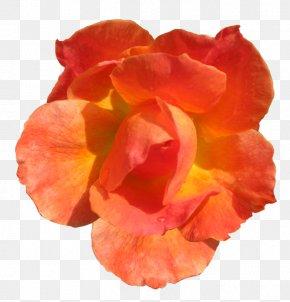 Orange Flower - Orange Flower Rose Red Clip Art PNG