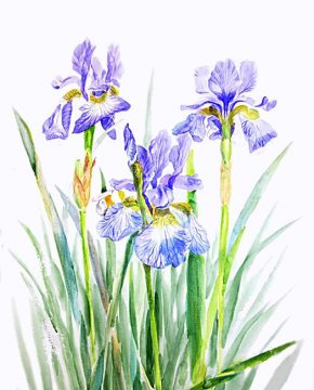 Irises - Northern Blue Flag Watercolor Painting Clip Art PNG