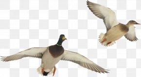 Duck - Duck American Pekin Bird Goose Mallard PNG