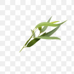 Eucalyptus Leaves - Eucalyptus Polyanthemos Leaf Essential Oil PNG