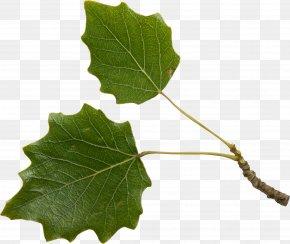 Leaf - Leaf Twig Plant Stem Tree PNG