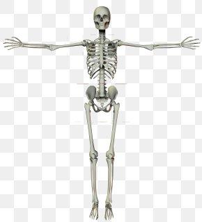 Human Skeleton Frame - Homo Sapiens Human Skeleton Bone PNG