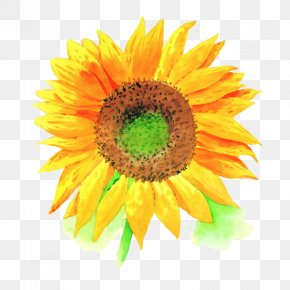 Sunflower Free Disk Pull Material - Stock Photography Royalty-free High-definition Television Clip Art PNG
