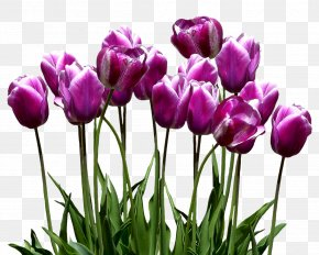 Tulip - Tulip Clip Art Image Desktop Wallpaper PNG