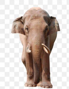 Elephant - Asian Elephant Animal Wildlife Stock Photography PNG