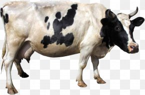 Cow Image - Dairy Cattle PNG