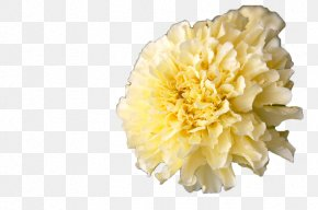 White Marigold - Mexican Marigold Calendula Officinalis Flower Annual Plant PNG