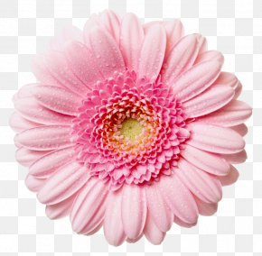 Transparent Daisy Cliparts - Pink Flowers Rose Clip Art PNG