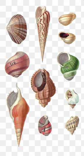 Hand-painted Conch - Seashell Conch Mollusc Shell Drawing PNG