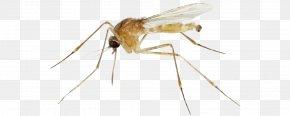 Mosquito - Insect Mosquito Pest Invertebrate Arthropod PNG