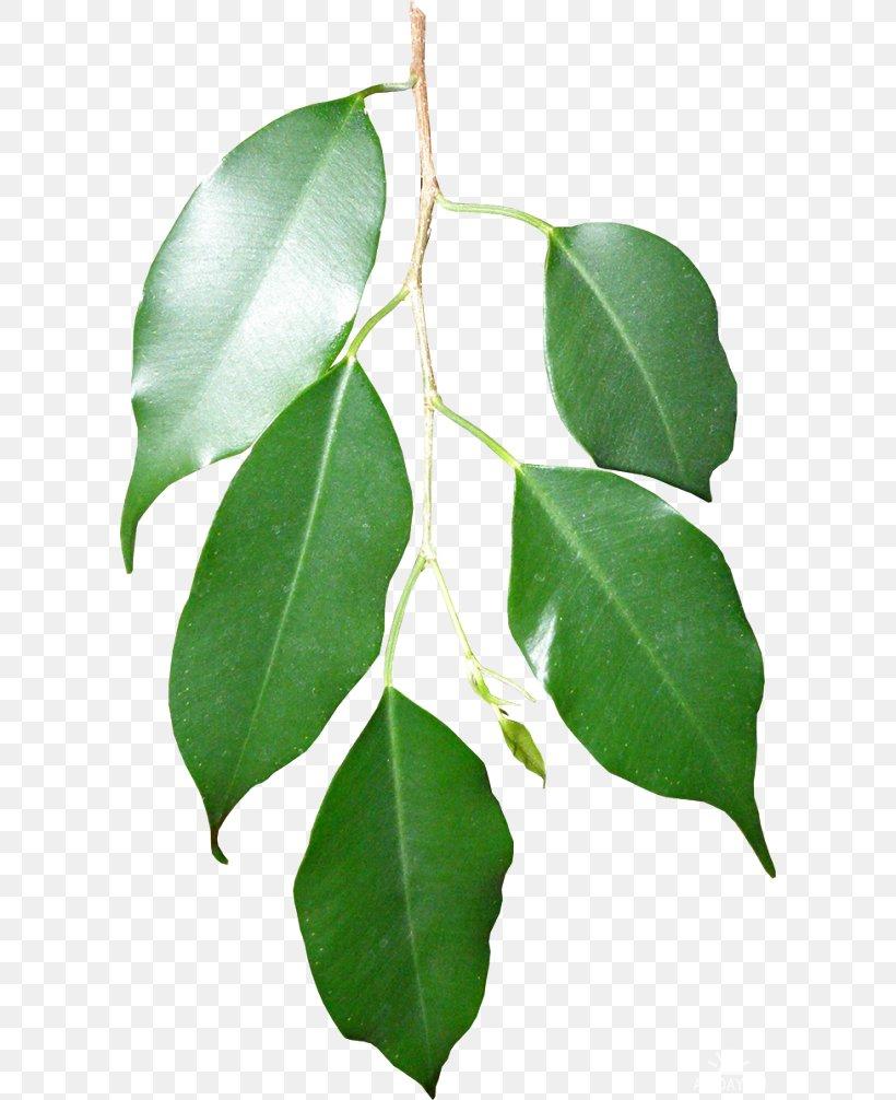 Leaf Twig Swamp Spanish Oak Branch Plant Stem, PNG, 600x1006px, Leaf, Branch, English Oak, Fruit, Green Download Free