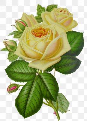 White Rose Image, Flower White Rose Picture - Rose Flower Clip Art PNG