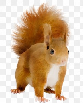 Whiskers Fox Squirrel - Squirrel Eurasian Red Squirrel Tail Snout Fawn PNG