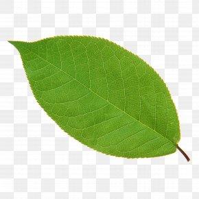 Leaf - Leaf Green Plant Euclidean Vector PNG
