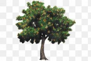 Tamarind - Tree Tamarind Spanish Lime Woody Plant PNG