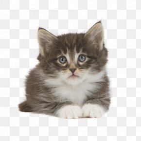 Kitten - Kitten Norwegian Forest Cat Siberian Cat American Wirehair Ragamuffin Cat PNG