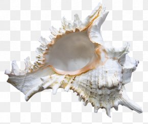 Seashell - Seashell Shankha Clip Art PNG