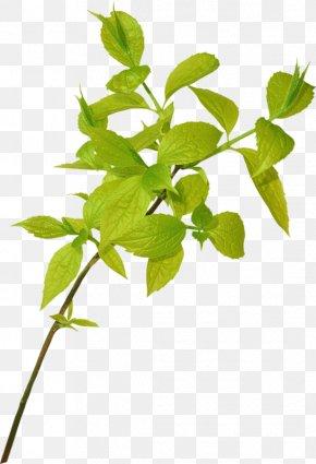 Leaf - Branch Leaf Tree Plants Plant Stem PNG