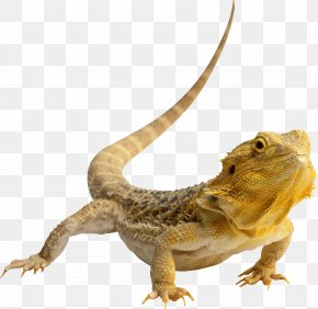Lizard - Central Bearded Dragon Lizard Reptile Green Iguana Clip Art PNG