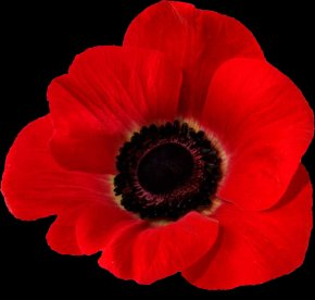 Poppies - In Flanders Fields Remembrance Poppy Common Poppy Armistice Day PNG