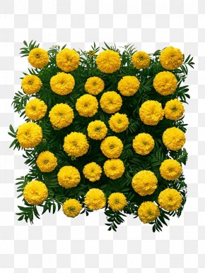 Square Marigold High Definition Pictures - Chrysanthemum Mexican Marigold Flower PNG