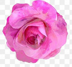 Hand-painted Rose - Rosa Chinensis Drawing PNG