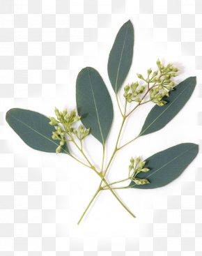Eucalyptus - Eucalypt Flowers Gum Trees Leaf Nutrient Avocado PNG