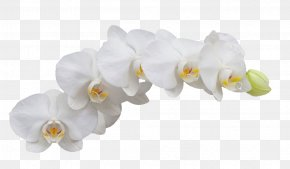White Orchid - Moth Orchids Flower PNG