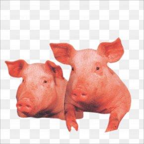 Pig - Domestic Pig Wilbur Livestock PNG