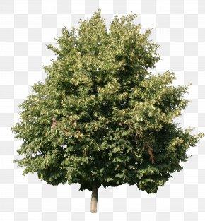 Cut - Tree Woody Plant Shrub Maple PNG