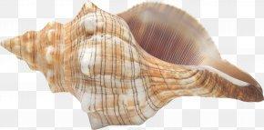 Seashell - Conch Seashell Clip Art PNG