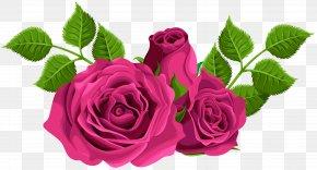 Pink Roses Decorative Clip Art Image - Garden Roses Centifolia Roses Clip Art PNG