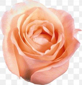 White Roses - Flower Garden Roses Clip Art PNG