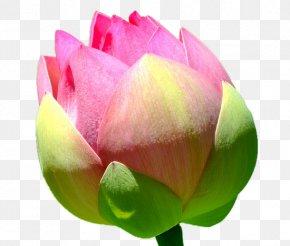 Lotus Bud - Nelumbo Nucifera Download RGB Color Model PNG