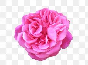 Durga Maa - Belur Math Flower Preservation Garden Roses Centifolia Roses PNG
