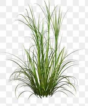Underbrush - Purple Fountain Grass Pennisetum Alopecuroides Plant PNG