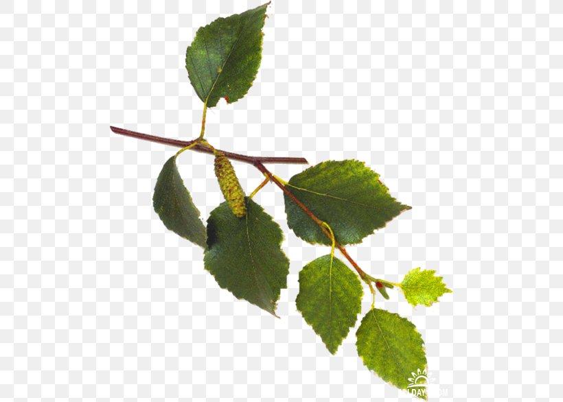 Leaf Plant Stem Branch Clip Art, PNG, 500x586px, Leaf, Author, Birch, Branch, Flower Download Free
