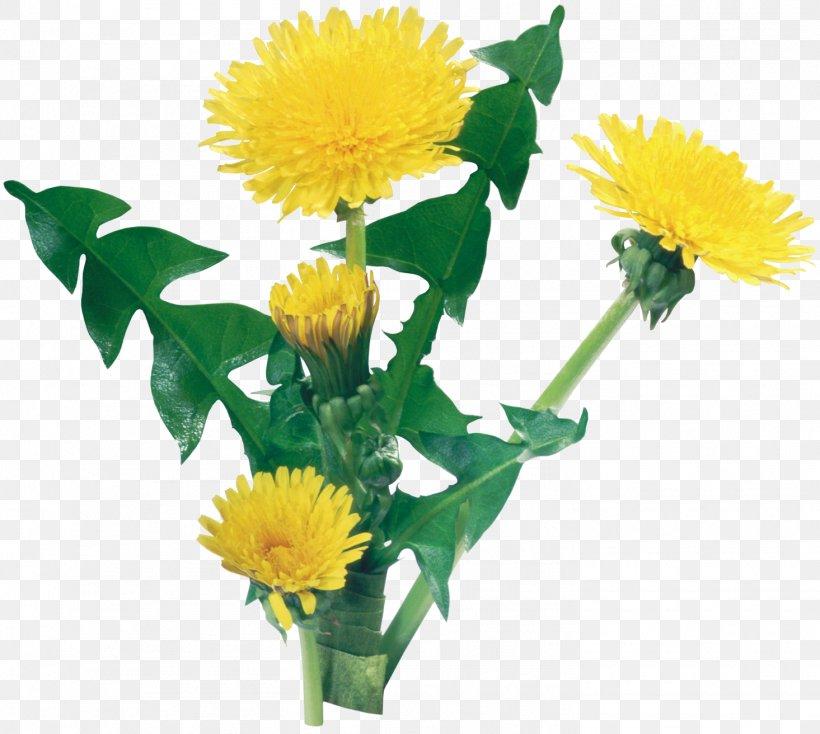 Common Dandelion Flower Yellow, PNG, 1465x1312px, Common Dandelion, Annual Plant, Child, Color, Cut Flowers Download Free