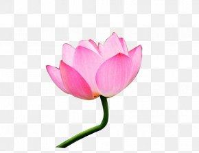 Lotus 8 - Pygmy Water-lily Nelumbo Nucifera Flower Bouquet Download PNG
