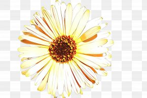 Calendula Asterales - Flowers Background PNG