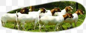 Flock Forest - Boer Goat Beef Cattle Sheep U9b6fu897fu9ec3u725b PNG