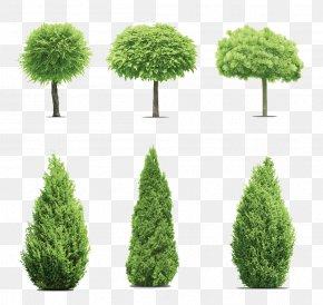 Pine Trees Garden - Gum Trees Cupressus PNG