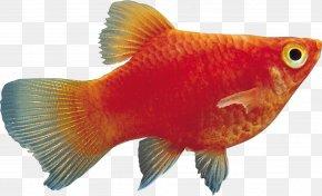 Fish - Black Telescope Ornamental Fish Aquarium Tropical Fish PNG