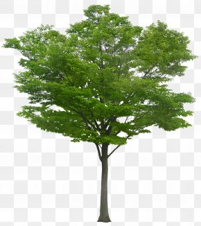 A Tree - Tree PNG