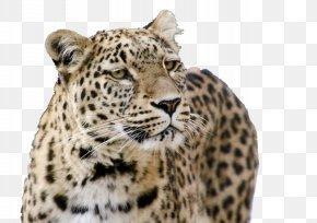 A Mighty Leopard - Jaguar Tiger Snow Leopard Persian Leopard Felidae PNG
