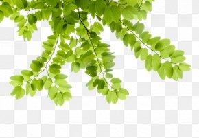 Leaf - Phanera Purpurea Bauhinia × Blakeana Green Bauhinia Variegata PNG