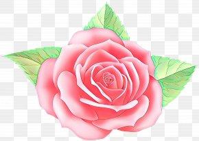 Rose Order Plant - Garden Roses PNG