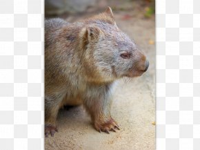 Australia - Australia Wombat Post Cards Postage Stamps Post Office PNG